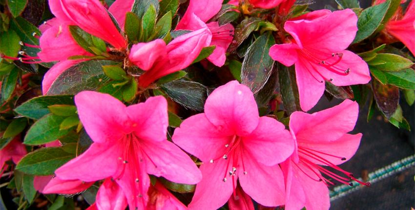 Азалия садовая - выращивание и уход: фото, видео