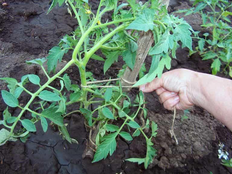 частота посадки томатов в теплице