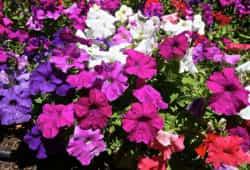 Цветы петунии посадка и уход