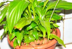 Почему у спатифиллума желтеют листья?