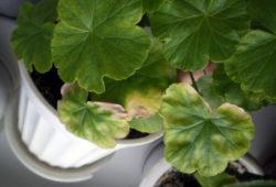 Почему у герани комнатной желтеют и сохнут листья?